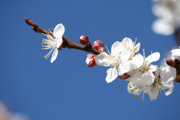 White Apricot Blossoms and Red Flower Buds - Free High Resolution Photo