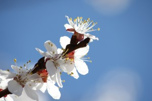 White Blossoms Against Blue Sky - Free High Resolution Photo