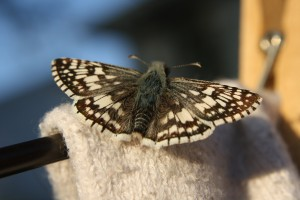 Brown and White Butterfly - Checkered Skipper - free high resolution photo