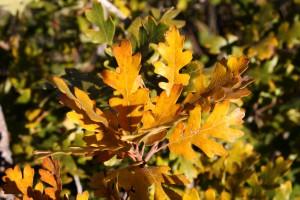 Golden Fall Scrub Oak Leaves Close Up - Free High Resolution Photo