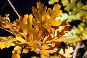Scrub Oak Leaves in Autumn - Free High Resolution Photo