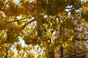 Sun Peeking Through Autumn Cottonwood Leaves - Free High Resolution Photo