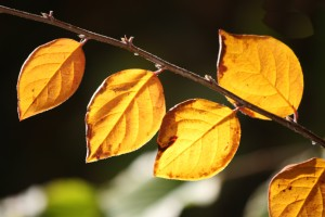 Golden Orange Fall Leaves in Sunlight CloseUp - Free High Resolution Photo