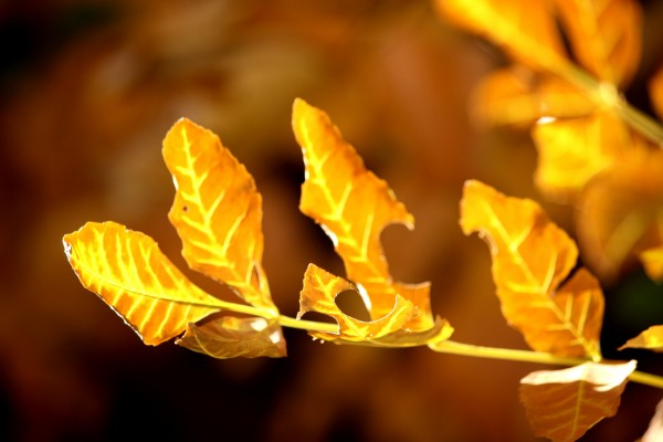 Sprig of Brown and Yellow Autumn Leaves - Free High Resolution Photo