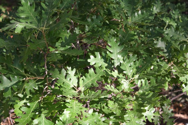 Scrub Oak Leaves Texture - Free High Resolution Photo