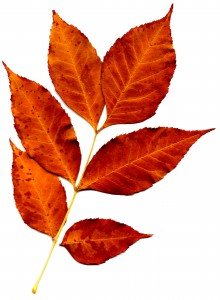Sprig of Orange Fall Leaves - Free High Resolution Photo
