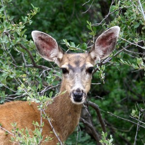 Mule Deer Close Up - Free High Resolution Photo