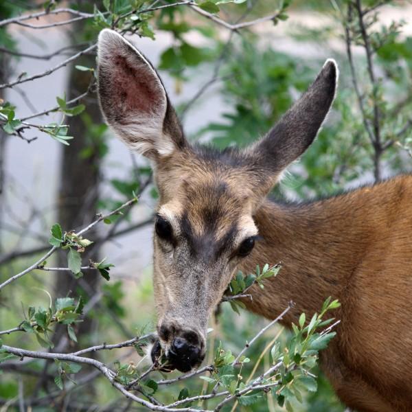 Mule Deer Eating Shrub - Free High Resolution Photo