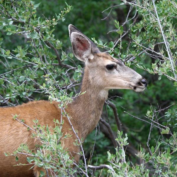 Mule Deer Side View - Free High Resolution Photo