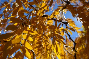 Yellow Fall Locust Leaves Close Up Texture - Free High Resolution Photo