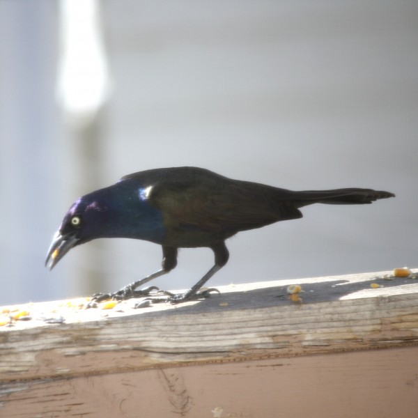 Common Grackle Bird - Free High Resolution Photo