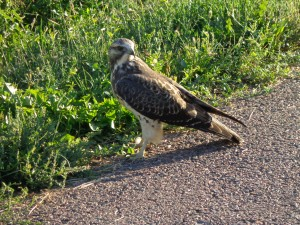 Immature Swainson's Hawk - Free High Resolution Photo