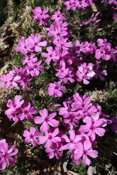 Pink Creeping Phlox - Free High Resolution Photo