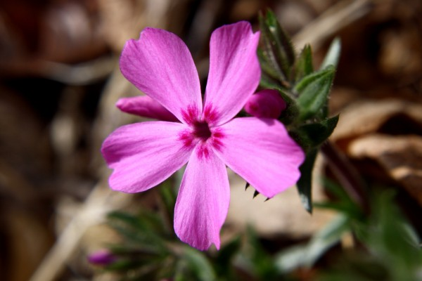 Pink Phlox Flower Close Up - Free High Resolution Photo