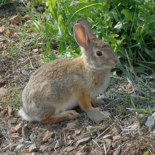 Cottontail Rabbit - Free High Resolution Photo