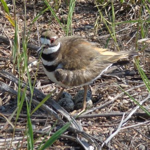 Killdeer Bird Guarding Eggs - Free High Resolution Photo