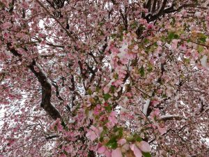 Snow on Pink Crabapple Blossoms - Free High Resolution Photo