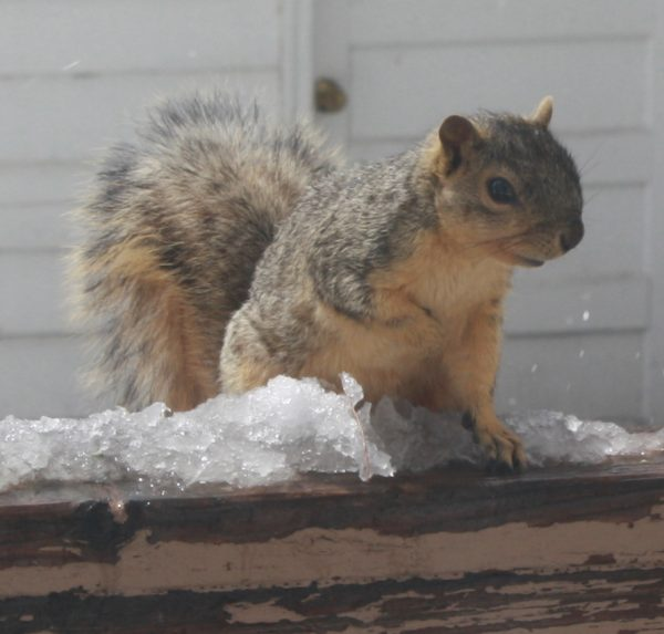 Squirrel with Melting Snow - Free Photo