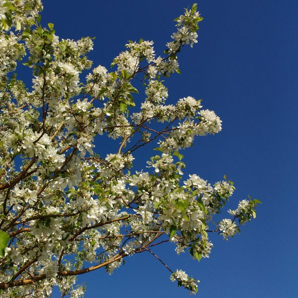 White Crabapple in Bloom - Free High Resolution Photo