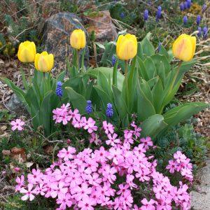 Yellow Tulips Pink Phlox and Grape Hyacinth - Free High Resolution Photo