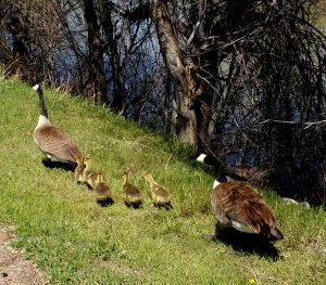 Family of Geese - Free Photo