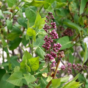 Purple Lilacs About to Open - Free High Resolution Photo