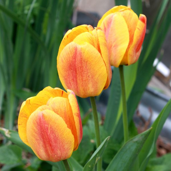 Three Yellow Flame Tulips - Free High Resolution Photo