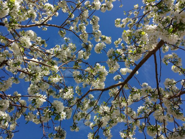 Branches of White Crabapple Blossoms - Free High Resolution Photo