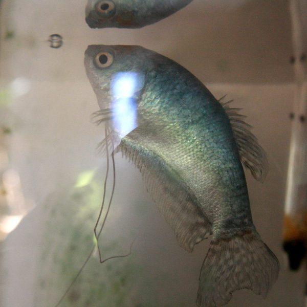 Blue Guorami Fish - Free High Resolution Photo