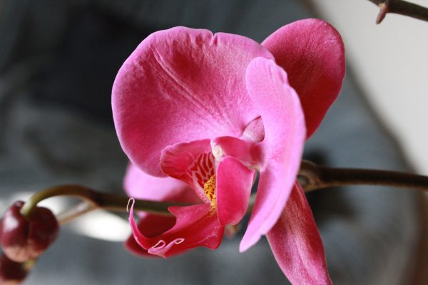 Magenta Orchid Flower - Free High Resolution Photo