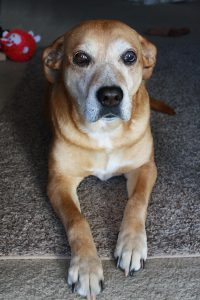 Old Brown Dog with Graying Face - Free High Resolution Photo