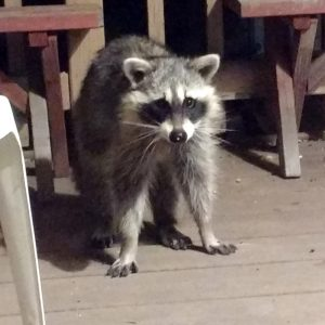 Raccoon Looking Surprised - Free Photo