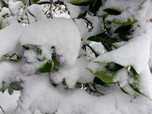 Snow Covered Lilac Blossoms - Free High Resolution Photo