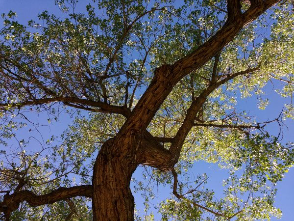 Tree from Below with Blue Sky - Free High Resolution Photo