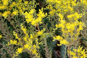 Yellow Flowers on Silver Stone Sedum - Free High Resolution Photo