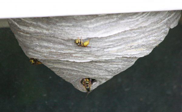 Yellowjacket Nest - Free High Resolution Photo