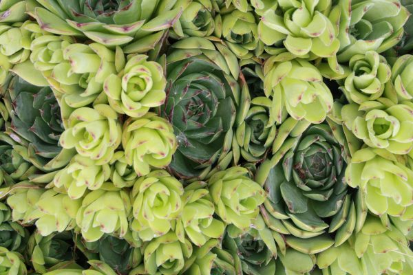 Hens and Chicks Succulent Plants - Free High Resolution Photo