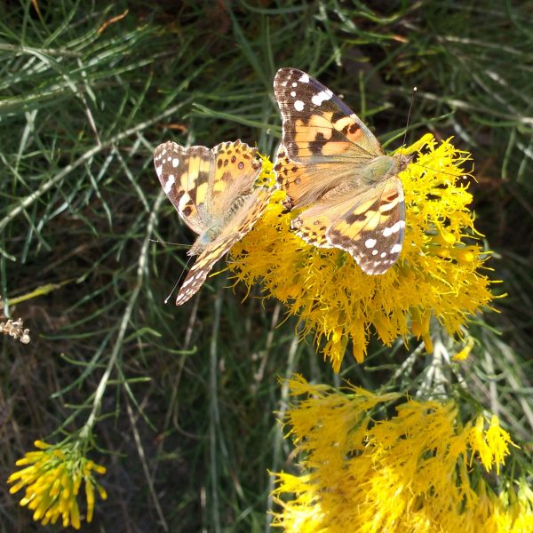 Painted Lady Butterflies - Free High Resolution Photo