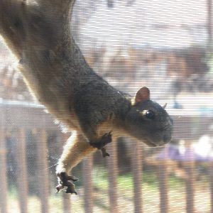Squirrel Hanging from Screen - Free High Resolution Photo