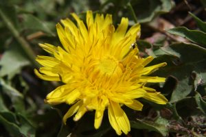Dandelion Close Up - Free High Resolution Photo