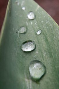 Drops of Water on Tulip Leaf - Free High Resolution Photo