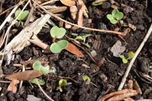 Radish Seedlings - Free High Resolution Photo