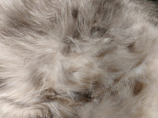 Kitty Belly Fur Texture - Free High Resolution Photo