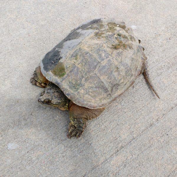 Tortoise on the Sidewalk - Free High Resolution Photo