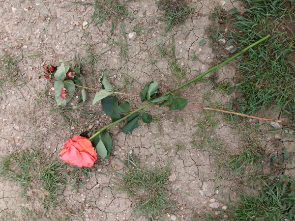 Wilted Rose on the Ground - Free High Resolution Photo