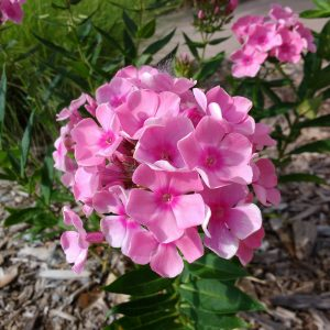 Pink Phlox Flowers - Free High Resolution Photo