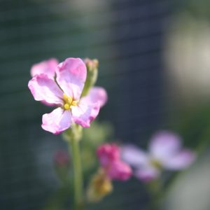 Pink Radish Blossom Close Up - Free High Resolution Photo