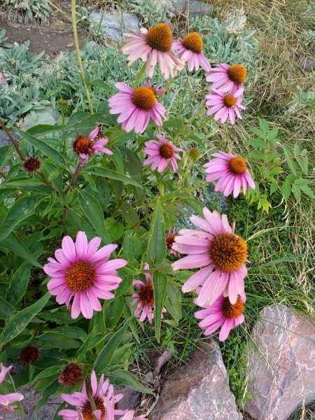 Purple Echinacea Coneflower - Free High Resolution Photo