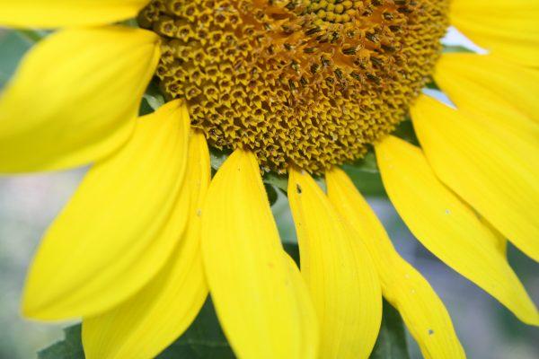 Sunflower Close Up - Free High Resolution Photo