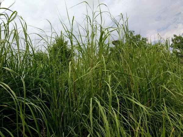 Tall Ornamental Grass - Free High Resolution Photo
